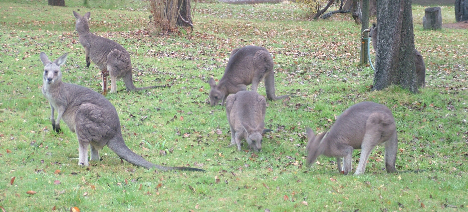 Kangaroos grazing right beside the lakeside powered camping sites at Grampians Paradise Camping and Caravan Parkland